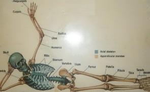 schelet