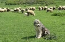 caine stana ciobani