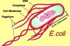 Escherichia Coli E.coli