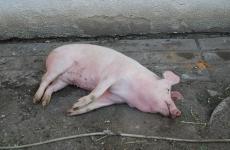 porc mort