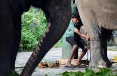 sri lanka elefanti