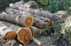 copaci taiati