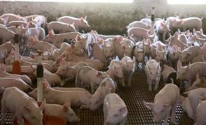 ferma porci