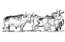 bou muls vaca prostie
