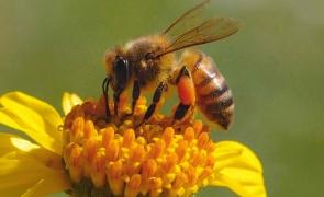 albina miere