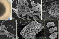 celule molecule ciuperca