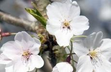 flori, 1 Mai