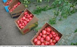 roșii, tomate