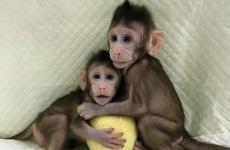 maimute clonate