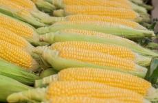 maize porumb