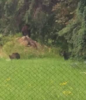Familie ursi