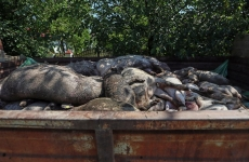 Inquam pesta porcina