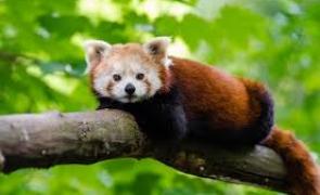 urs panda rosu