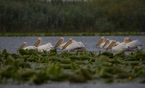Delta Dunării pelicani