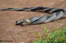 imperechere serpi