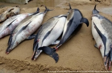 delfini morți