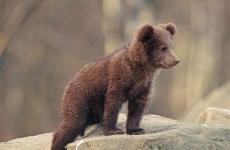 Ursuleț