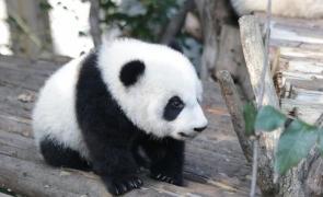 urs panda