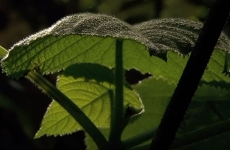 urzica planta