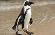 pinguin african