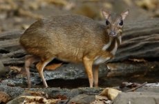 chevrotain sorece-caprioara