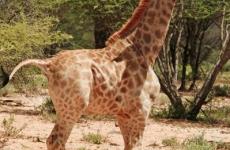 Girafă pitică