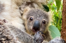 Koala pui