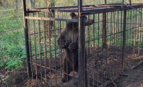 urs capturat