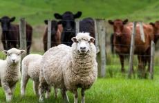 oaie oi lana