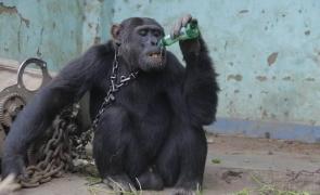 cimpanzeu drogat