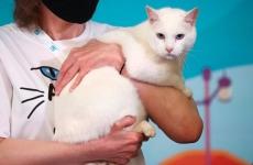 motanul rus Ahile pisica