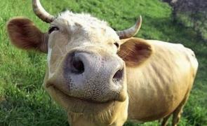 vaca vaci