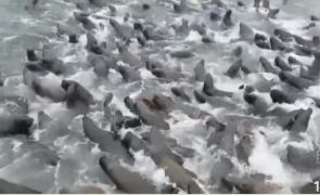 orci lei de mare