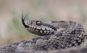 viperă, șarpe