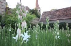 Tuberoza de Hoghilag flori
