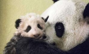 pui panda
