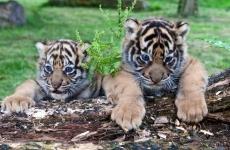 pui de tigru Ziua Internaţională a Grădinilor Zoologice şi a Parcurilor