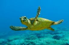 broasca testoasa marina