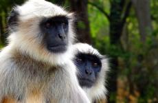 maimuţă-langur